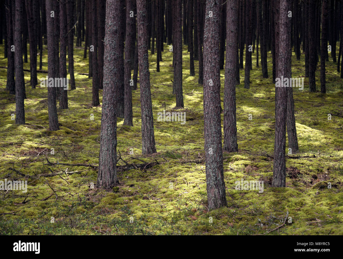European coniferous forest with light and shadow on green lowest undergowth. Stock Photo