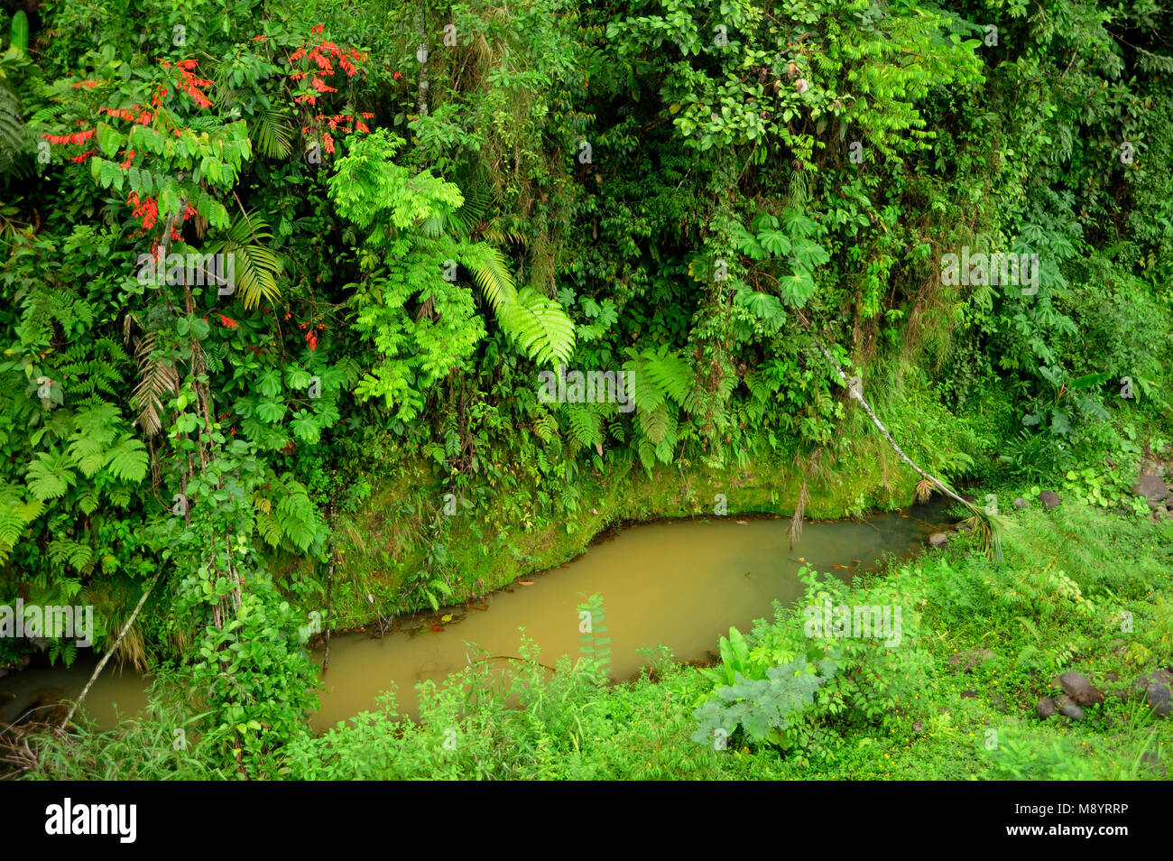Lush, tropical plants surround a small pond of collected rain in Costa Rica's Tirimbina Biological Reserve. Stock Photo