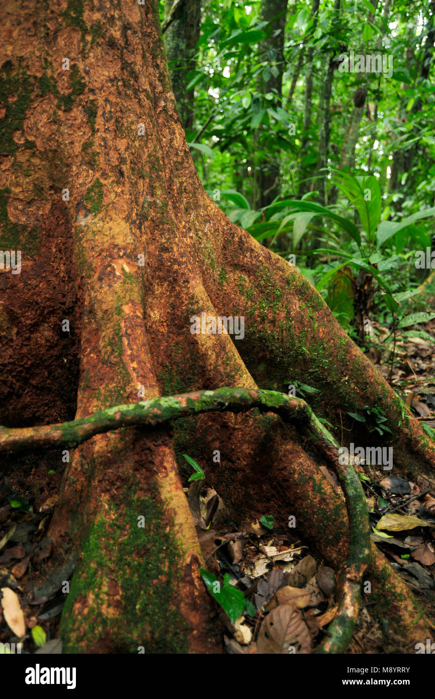 An aerial root wraps around a tree in the tropical forest of Tirimbina Biological Reserve. Stock Photo