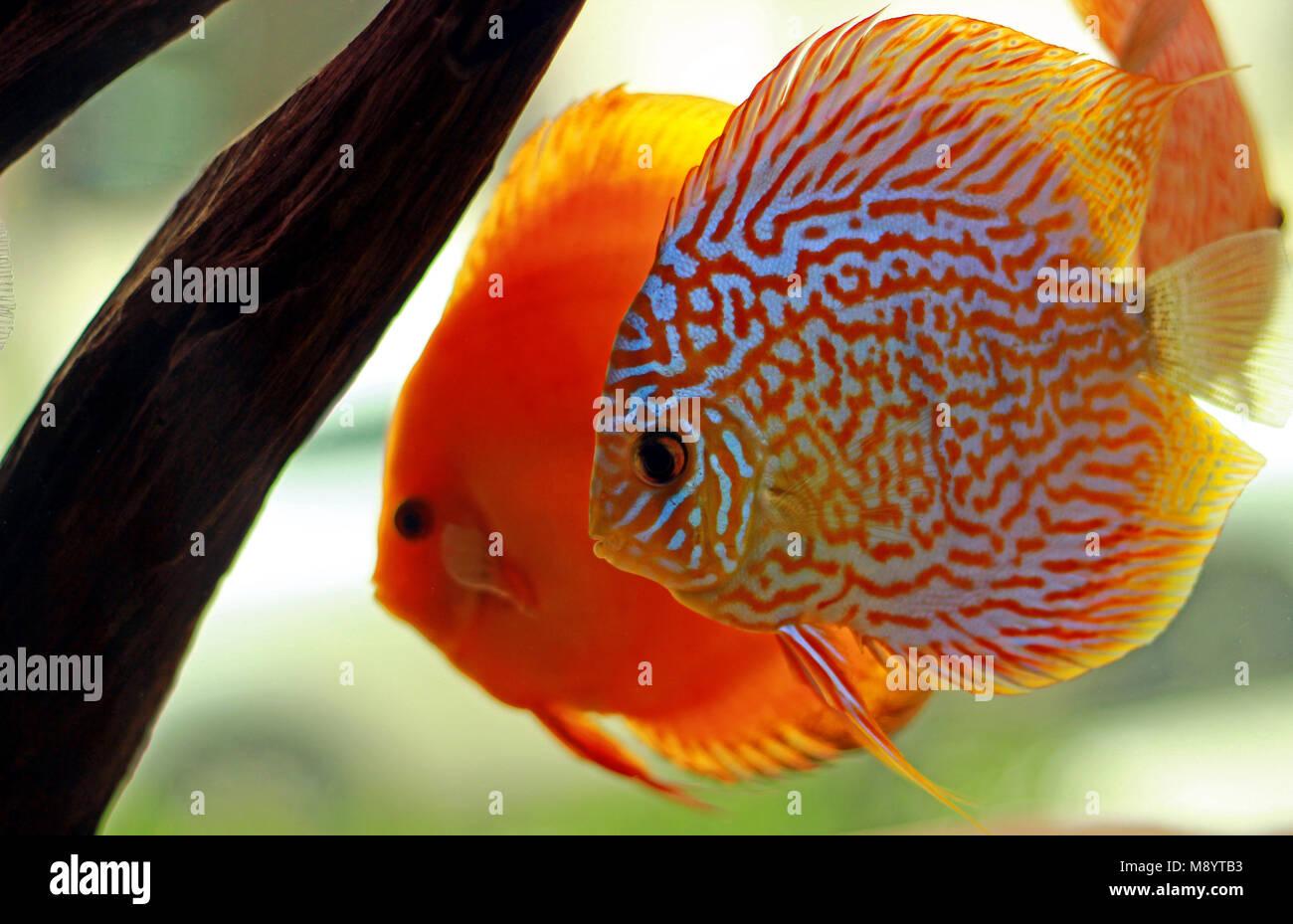 Discus Fish White Background Stock Photos & Discus Fish White ...