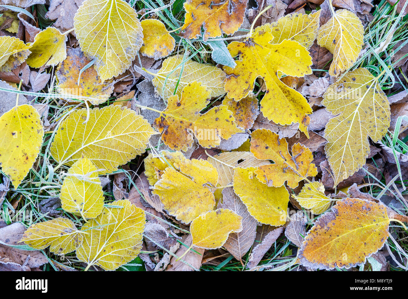 Frosted Bigtooth Aspen & Mulberry leaves, late Autumn, Fort Snelling SP, MN, USA, by Dominique Braud/Dembinsky Photo Stock Photo
