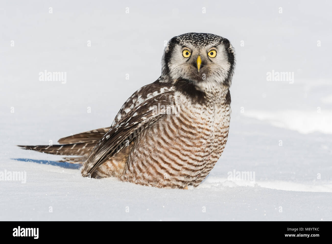 Northern Hawl Owl (Surnia ulula), St. Louis County, MN, USA, January, by Dominique Braud/Dembinsky Photo Assoc - Stock Image