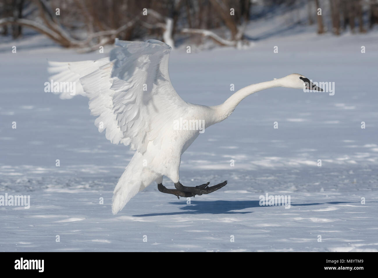 Trumpeter swan (Cygnus buccinator) landing on  St. Croix River.  Hudson, WI. USA, Early January, by Dominique Braud/Dembinsky - Stock Image