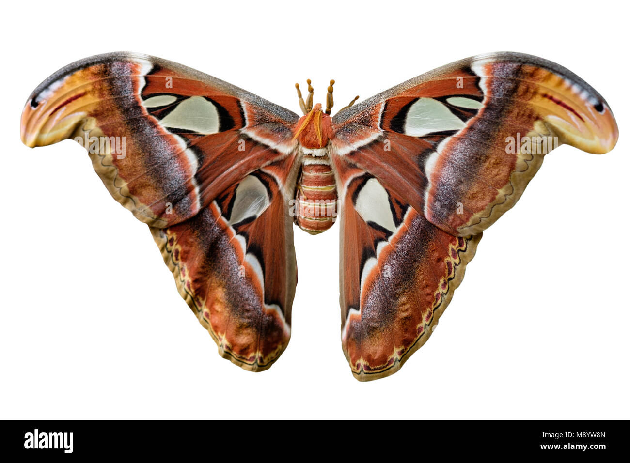 Attacus Atlas moths are one of the largest lepidopterans in the world. - Stock Image