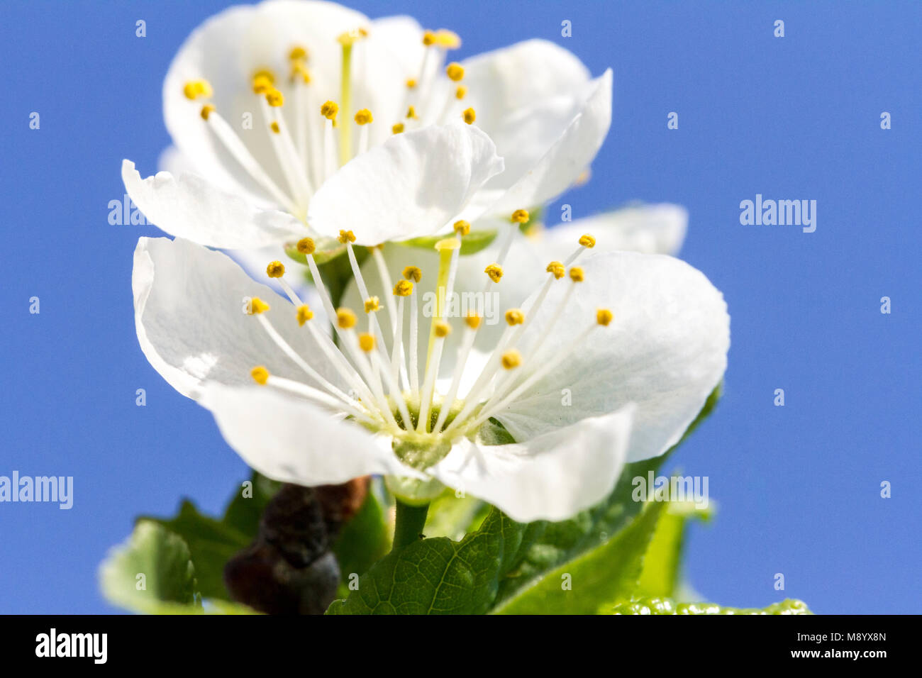 Airy soft white flower of apple tree on blue sky background. Romantic gentle artistic image. - Stock Image