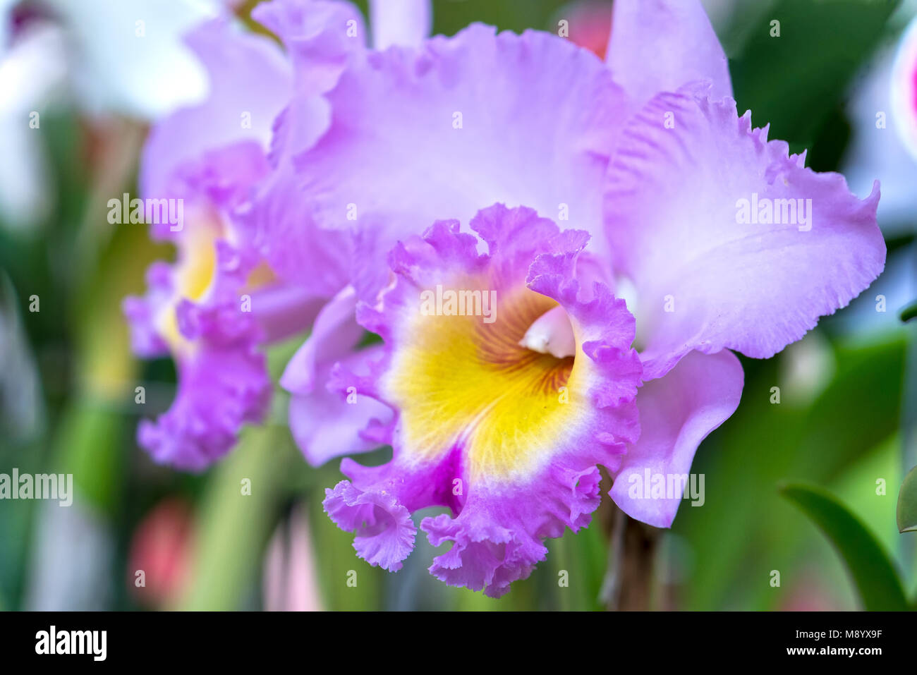 Purple Cattleya Orchid Flower Stock Photos Purple Cattleya Orchid