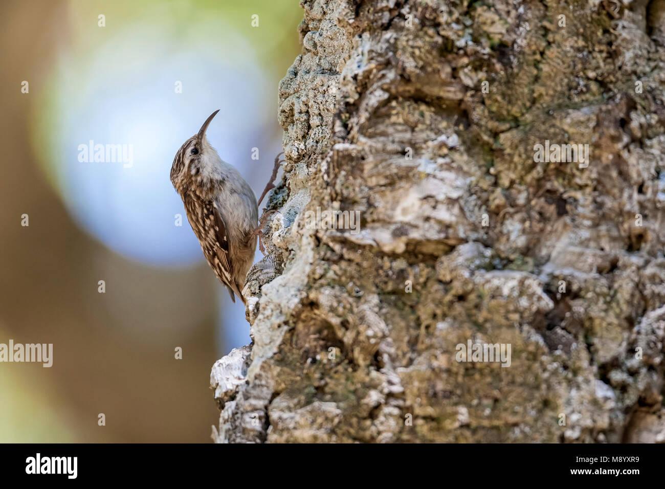 Afrikaanse Boomkruiper, African Short-toed Tree-Creeper (Certhia brachydactyla mauritanica) - Stock Image