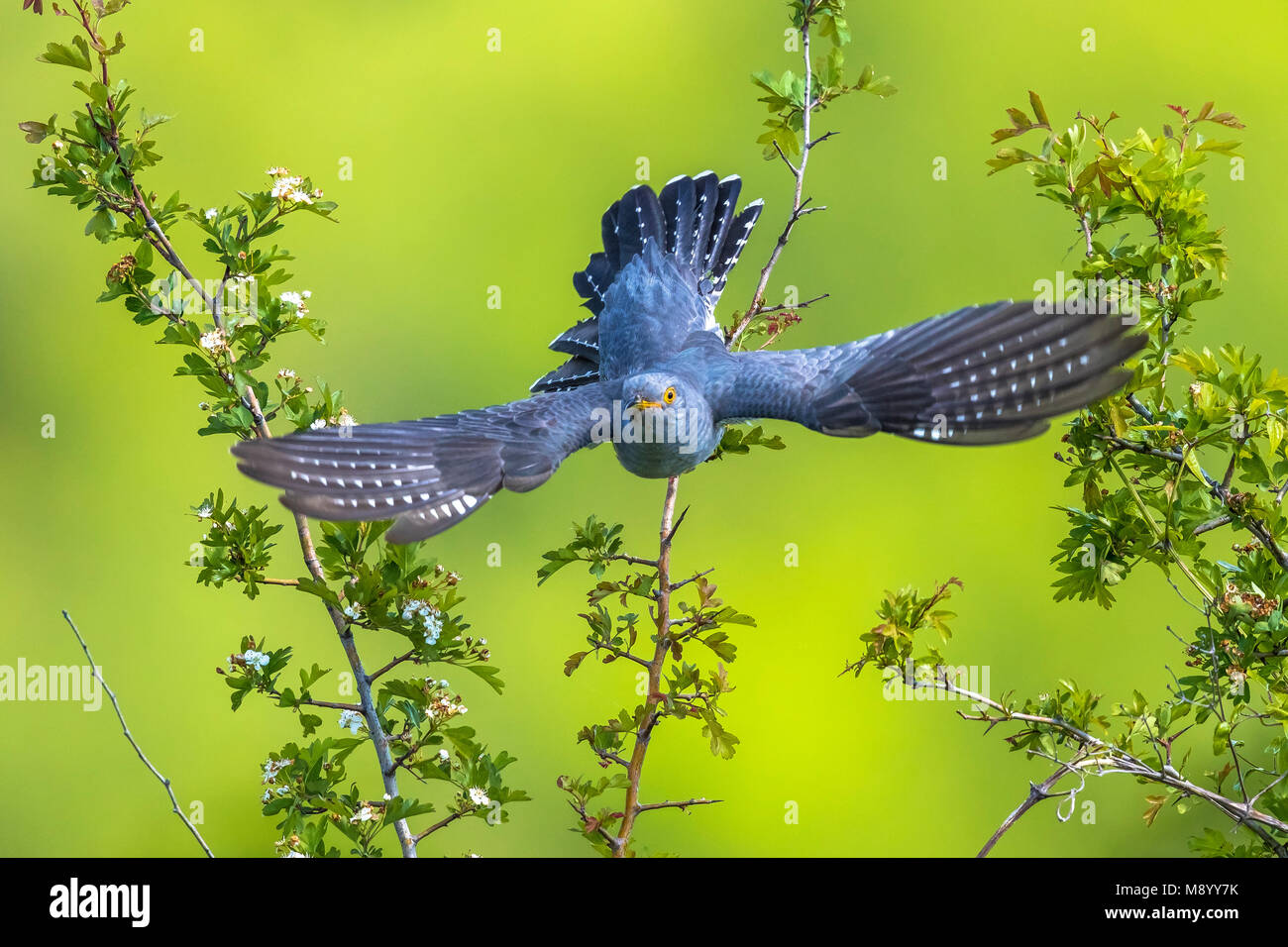 Male Eurasian Cuckoo perched on a tree near Florence, Italy. April 2017. - Stock Image