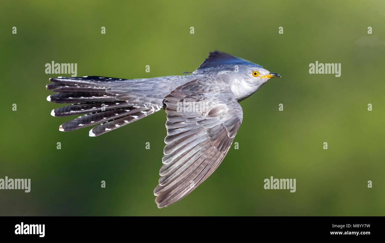 Probable male Eastern Common Cuckoo flying in Atyrau, Kazakhstan. May 30, 2017. Stock Photo