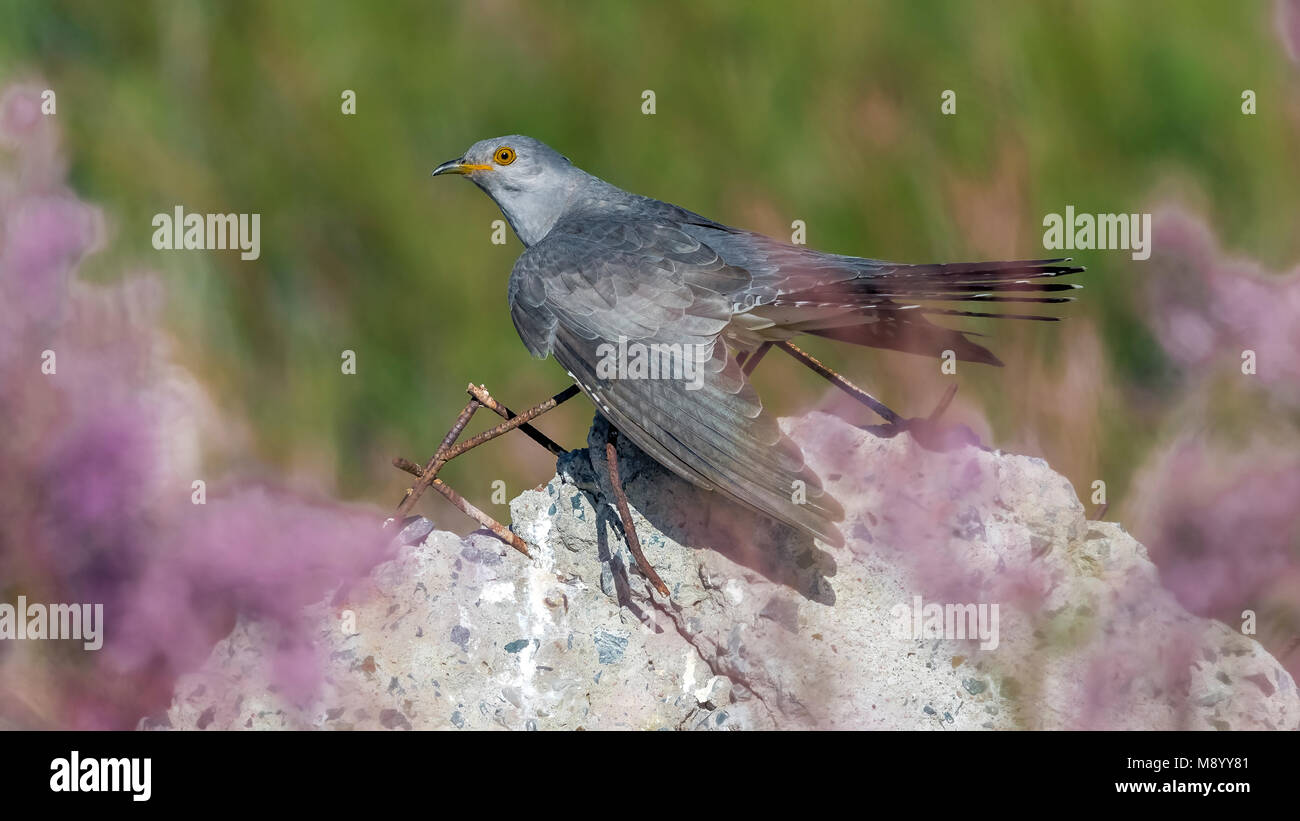 Male Eurasian Cuckoo perched on a stone in Atyrau, Kazakhstan. May 30, 2017. - Stock Image