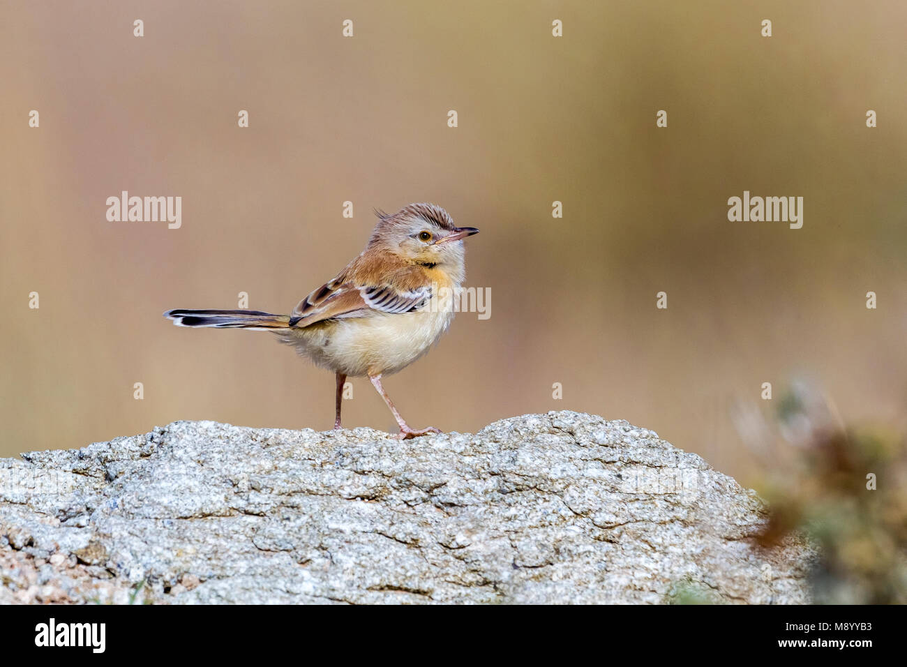 Juvenile Cricket Longtail sitting on a rock in Oued Jenna, Western Sahara. - Stock Image