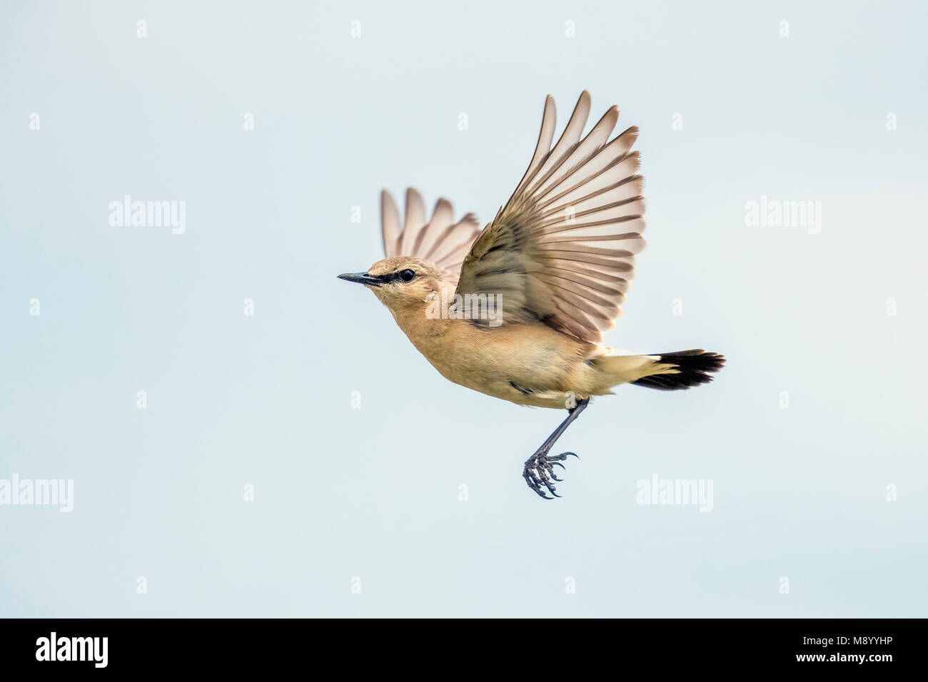 Male Isabelline Wheatear flying over the steppe of Kazakhstan. May 2017. - Stock Image