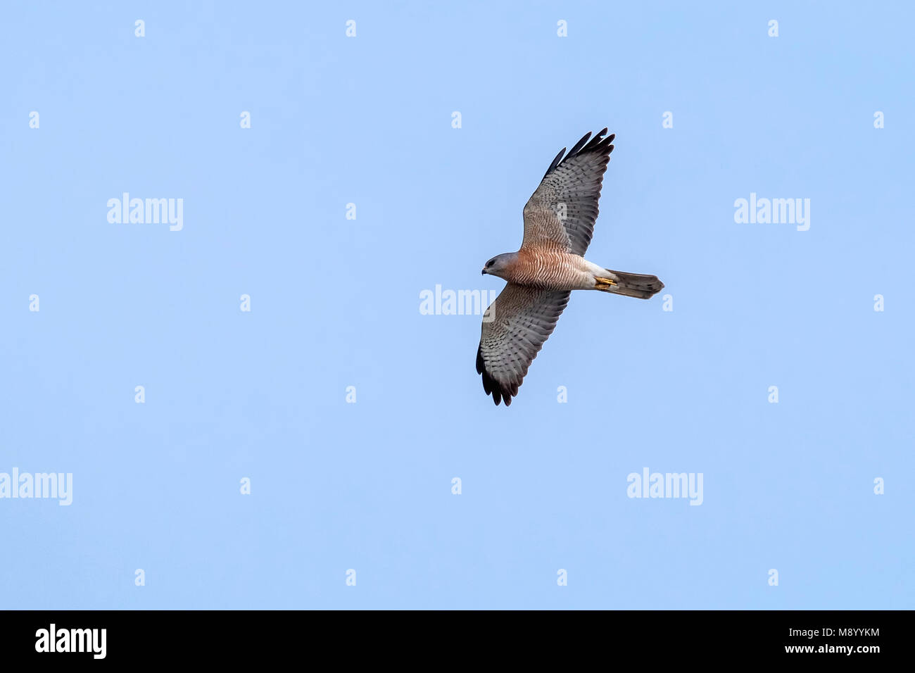Male Levant Sparrowhawk Flying in Egypt. - Stock Image