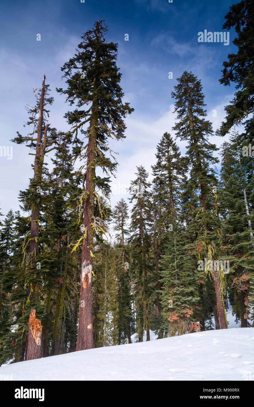 Red Fir trees Abies magnifica in Eldorado National Forest, California, USA. - Stock Image