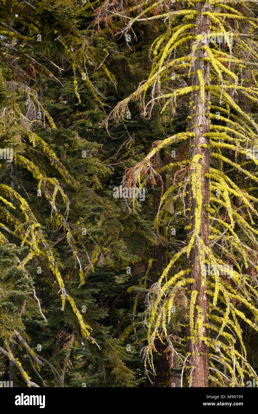 Moss covered Ref Fir trees Abies magnifica in Eldorado National Forest, California, USA. - Stock Image