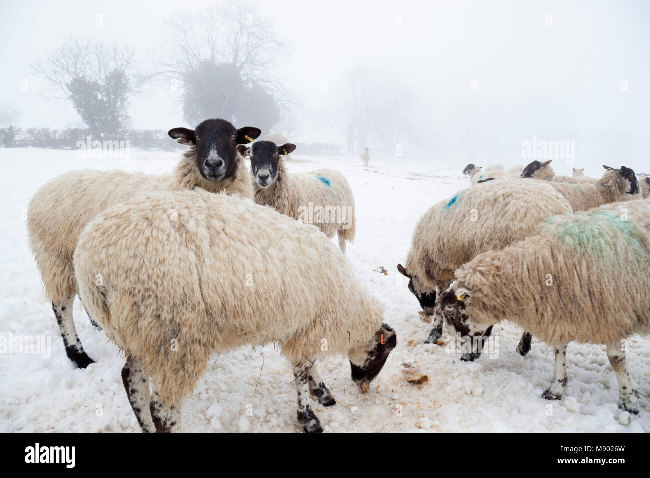 White sheep in snow and fog eating turnips, Chipping Campden, The Cotswolds, Gloucestershire, England, United Kingdom, - Stock Image