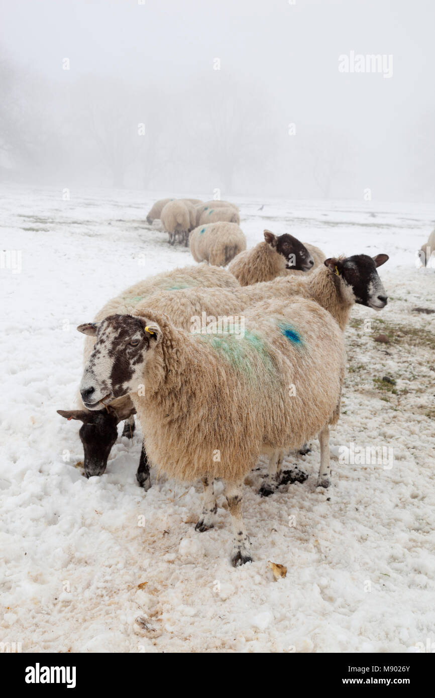 White sheep in snow and fog, Chipping Campden, The Cotswolds, Gloucestershire, England, United Kingdom, Europe - Stock Image