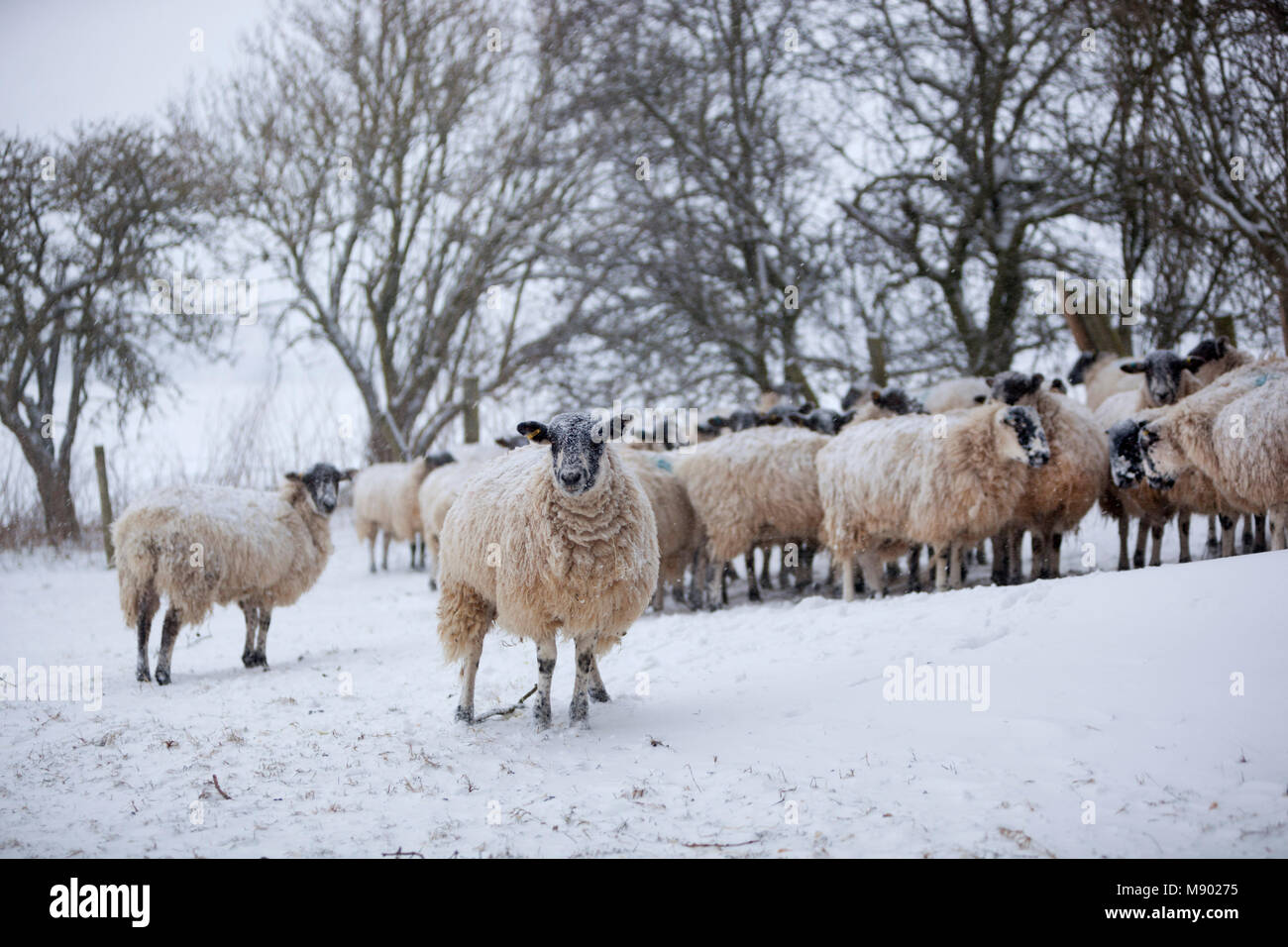 White sheep huddled together sheltering from a snow storm, Chipping Campden, The Cotswolds, Gloucestershire, England, - Stock Image