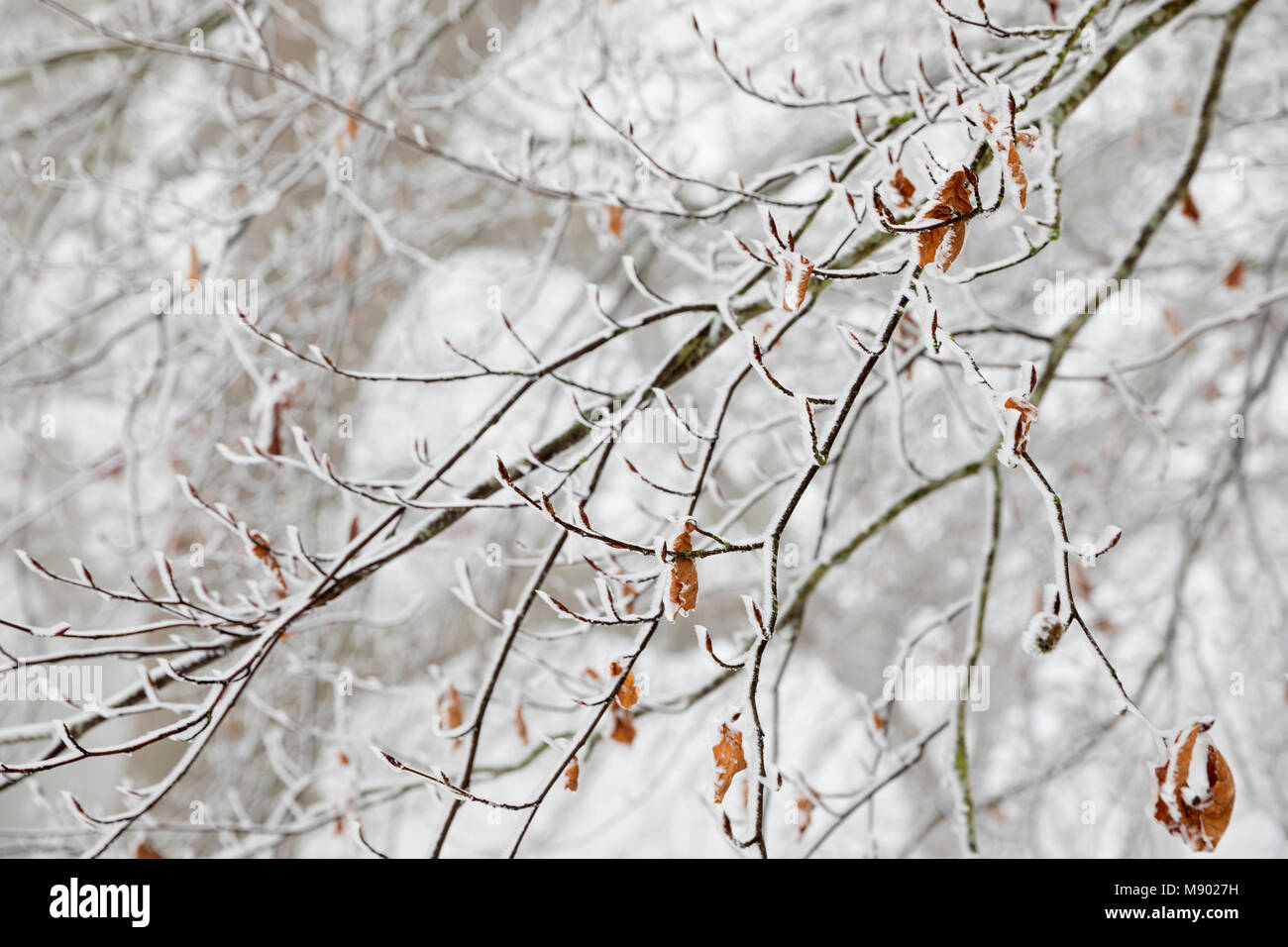 Frozen tree branches, Chipping Campden, The Cotswolds, Gloucestershire, England, United Kingdom, Europe - Stock Image