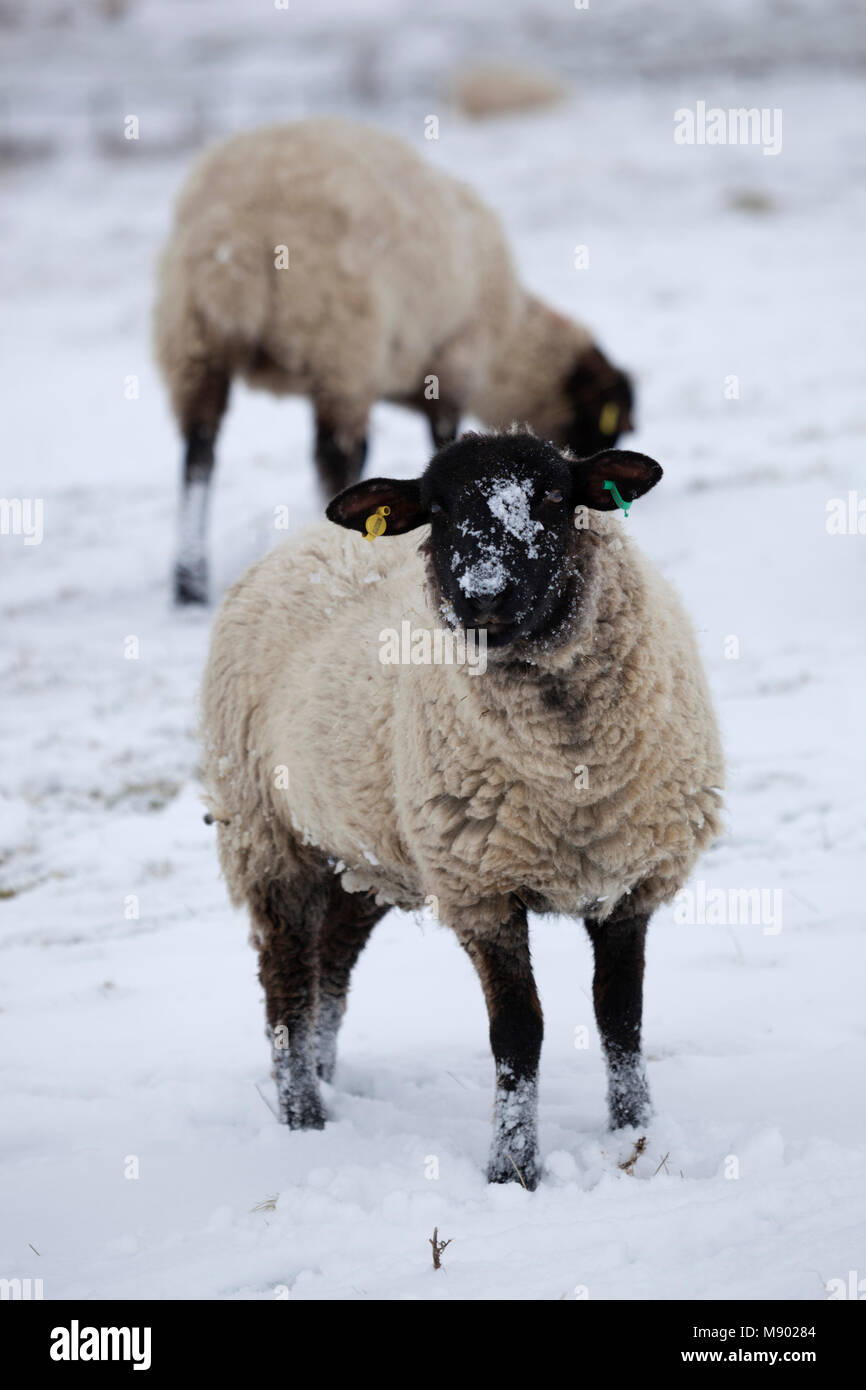 Black faced sheep in snow covered field, Chipping Campden, Cotswolds, Gloucestershire, England, United Kingdom, - Stock Image