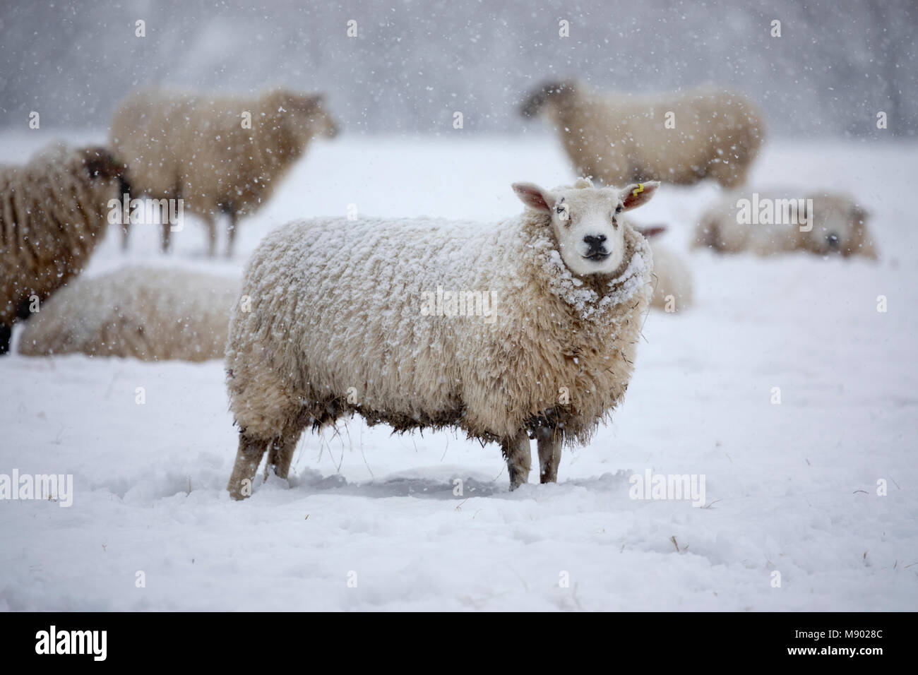 White texel sheep covered in snow and standing in field of snow, Burwash, East Sussex, England, United Kingdom, - Stock Image