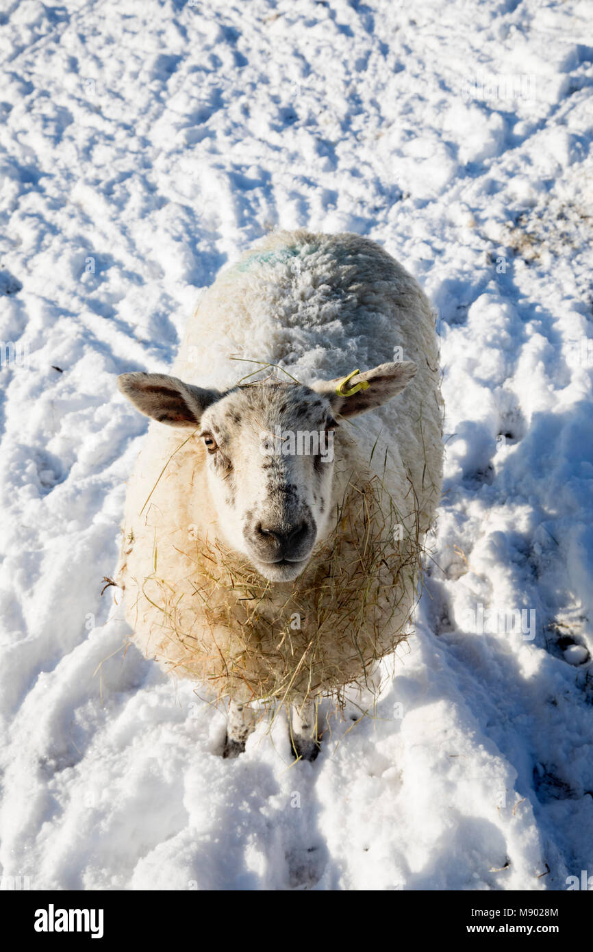 White sheep covered in snow and standing in field of snow, Burwash, East Sussex, England, United Kingdom, Europe - Stock Image