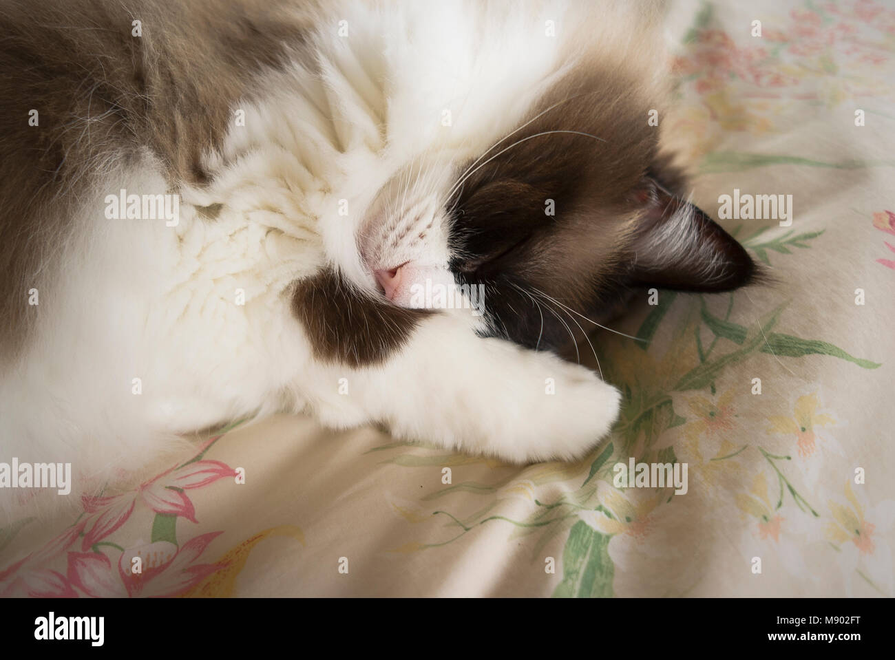 In a deep sleep on a comfortable bed - English Ragdoll female cat in UK - Stock Image