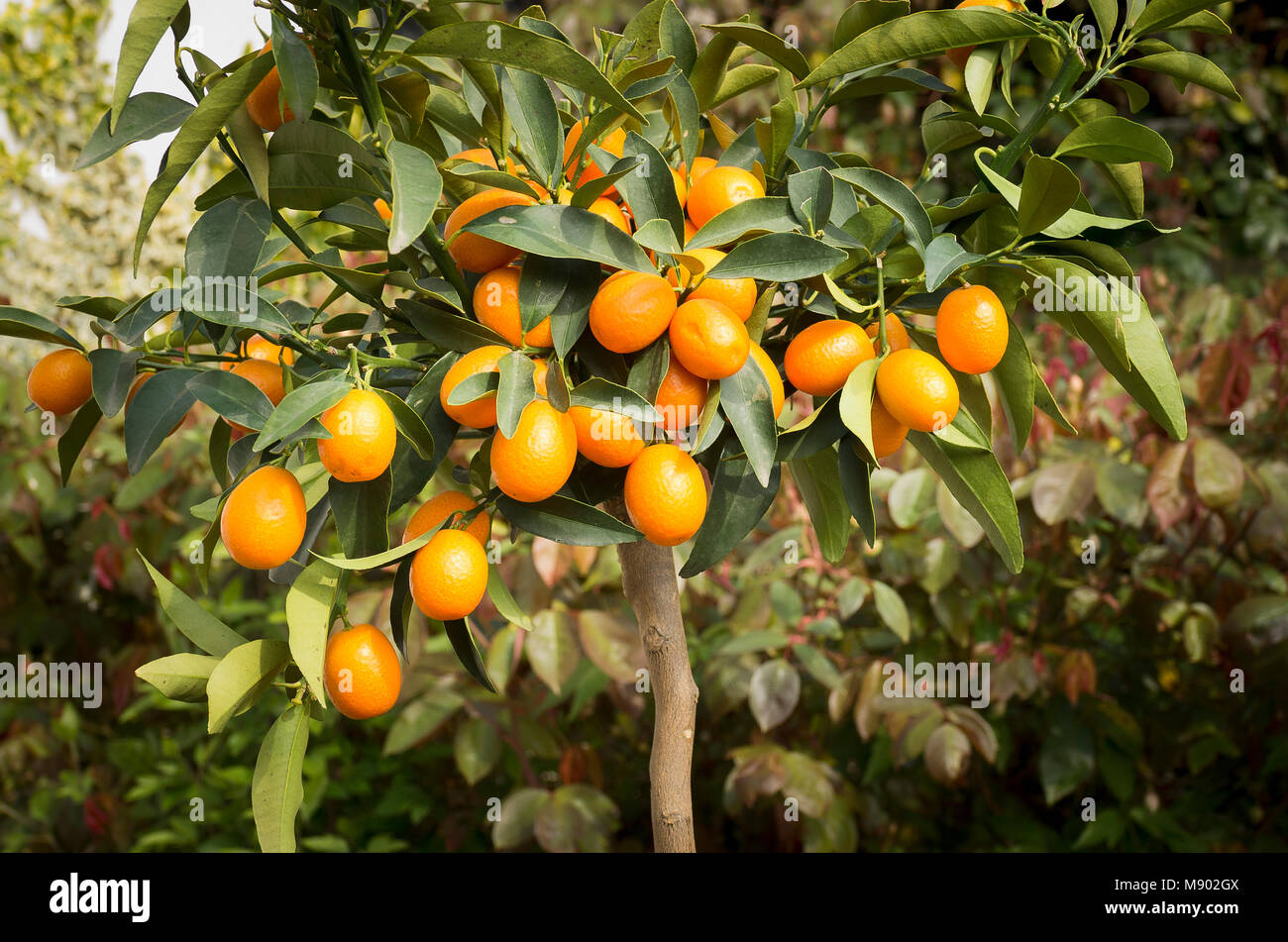 Fruit on a small Kumquat tree growing in a small English garden in May in UK - Stock Image