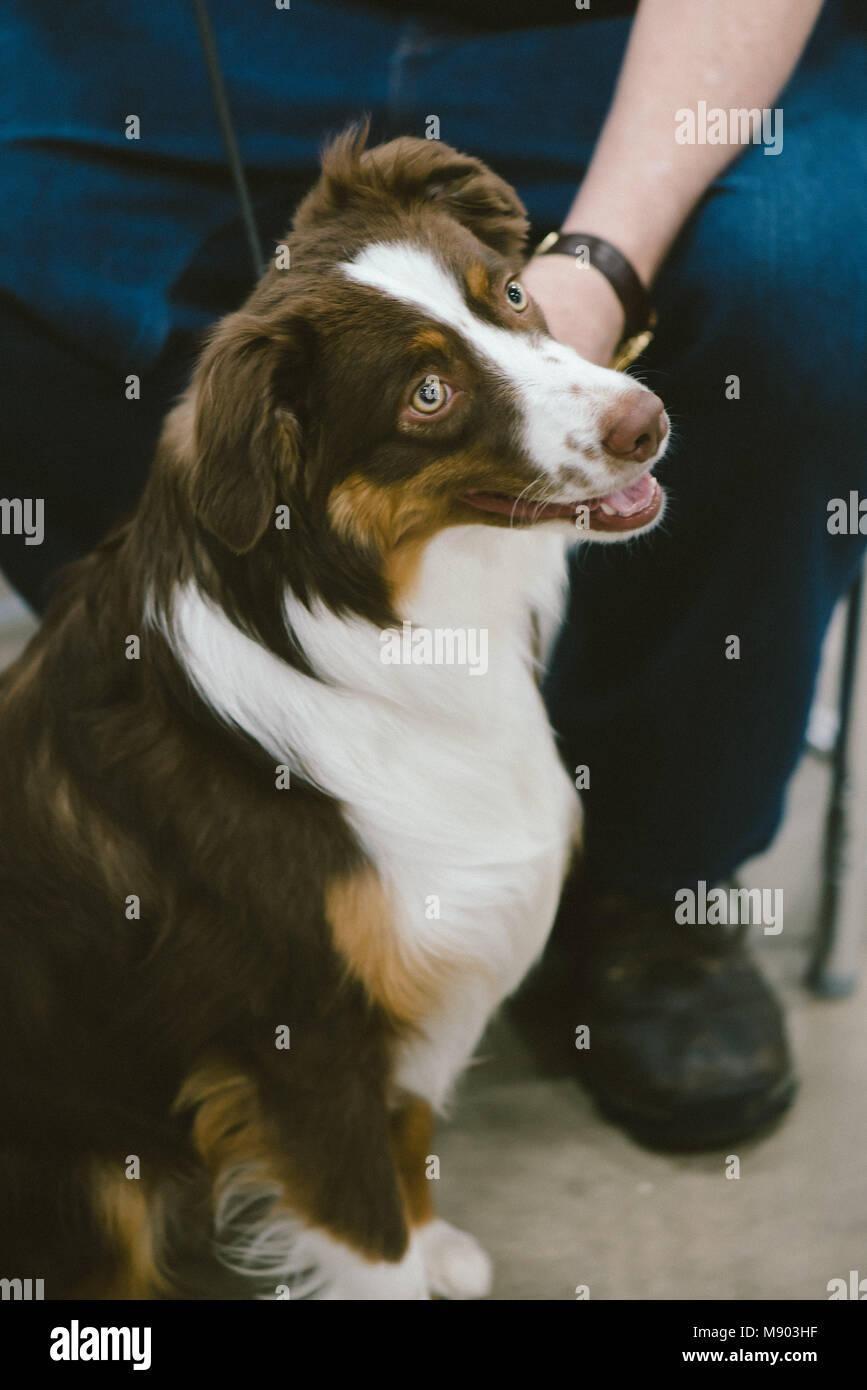 Celtic Classic Dog Show 2018 an Australian Shepherd from the Herding Group Stock Photo