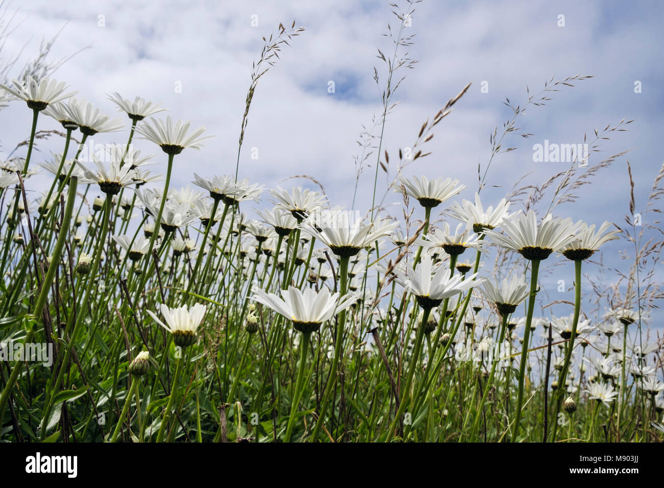 Worm's eye view of Ox-Eye Daisies (Leucanthemum vulgare) growing with wild grasses in summer. UK, Britain Stock Photo