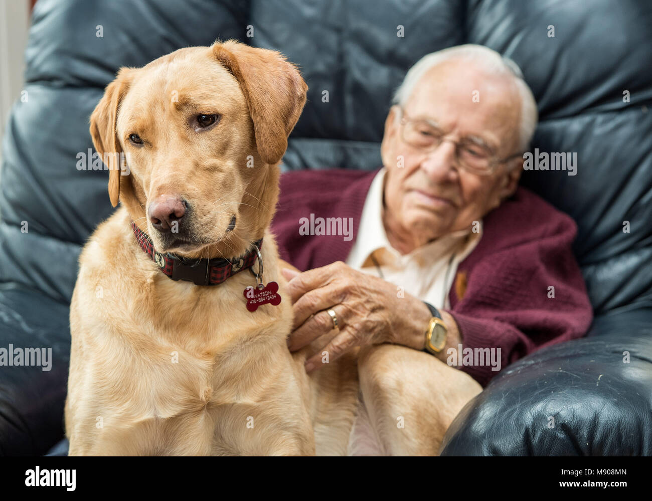 Grandpa with his yellow lab in his lap - Stock Image