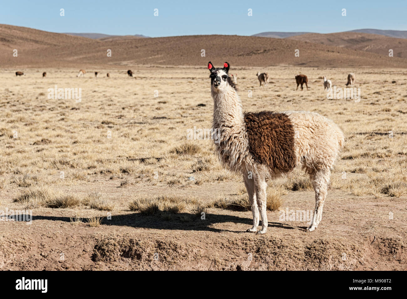 A group of llamas (alpaca) grazing in the highlands in the beautiful landscape of the Andes Mountains - Bolivia, - Stock Image