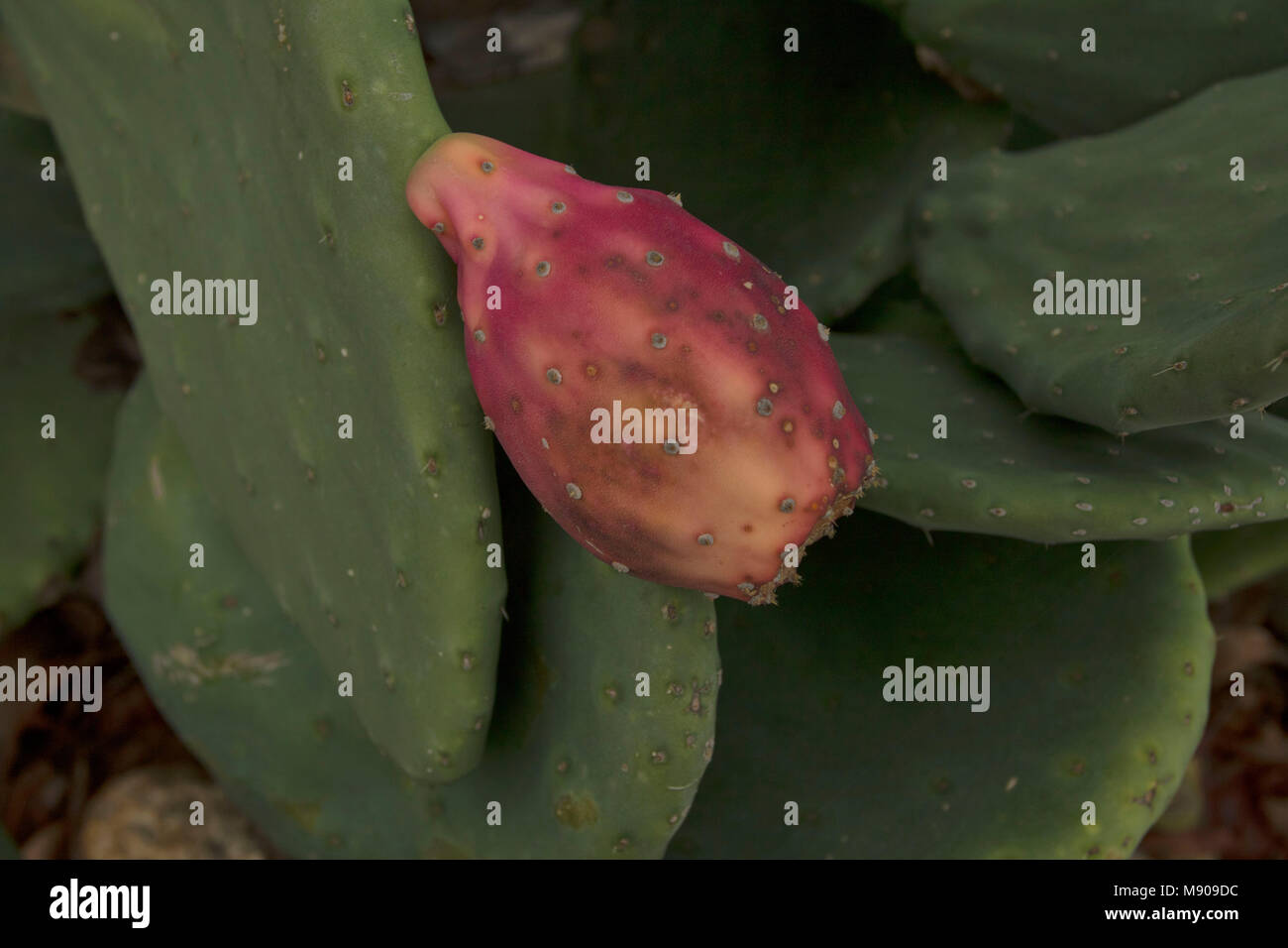 Prickly pear cactus fruit on the plant in Paphos, Cyprus, Mediterranean - Stock Image