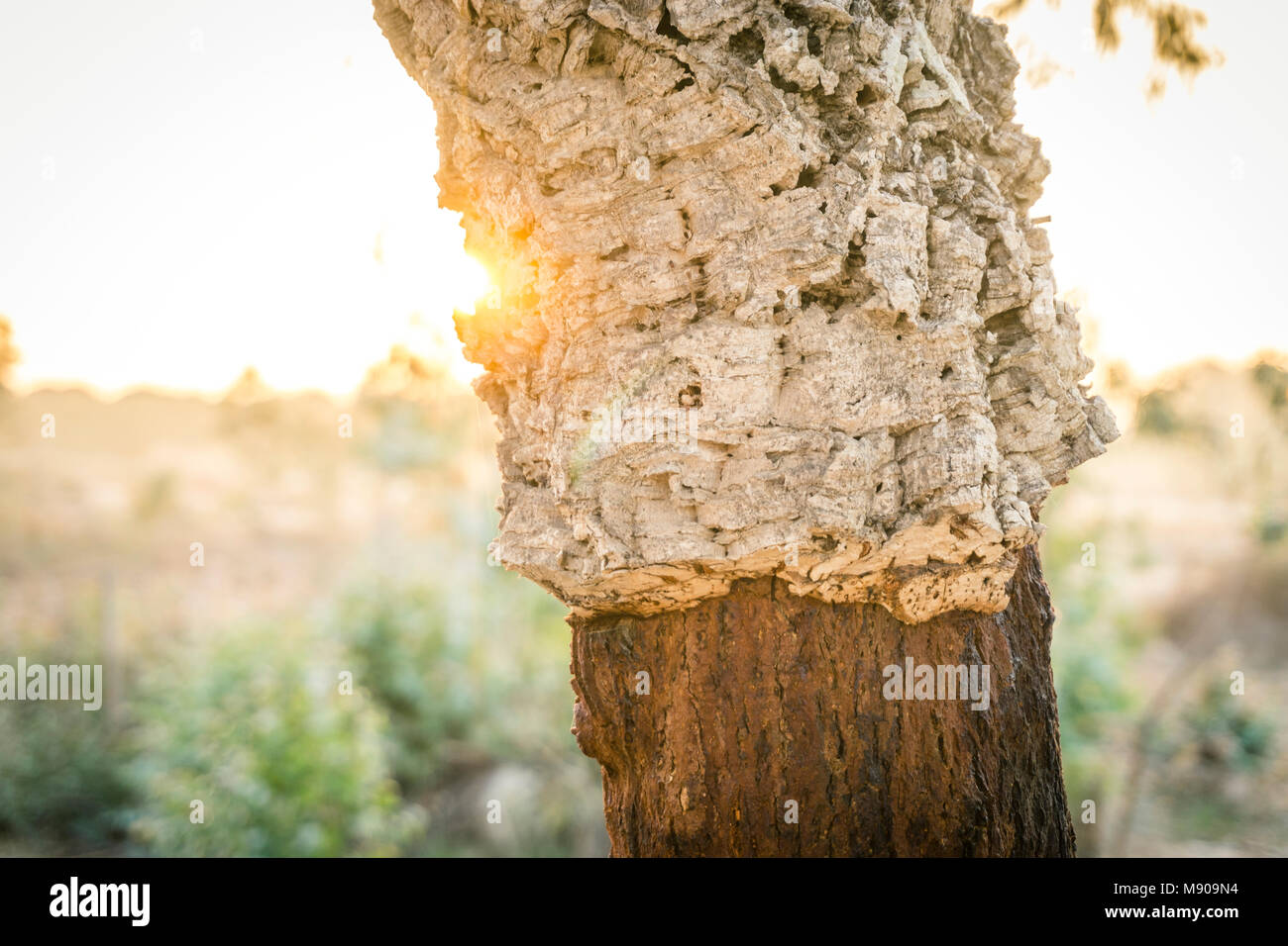 Cork tree with and without the outer layer of the bark, which can be stripped without harming the tree. - Stock Image