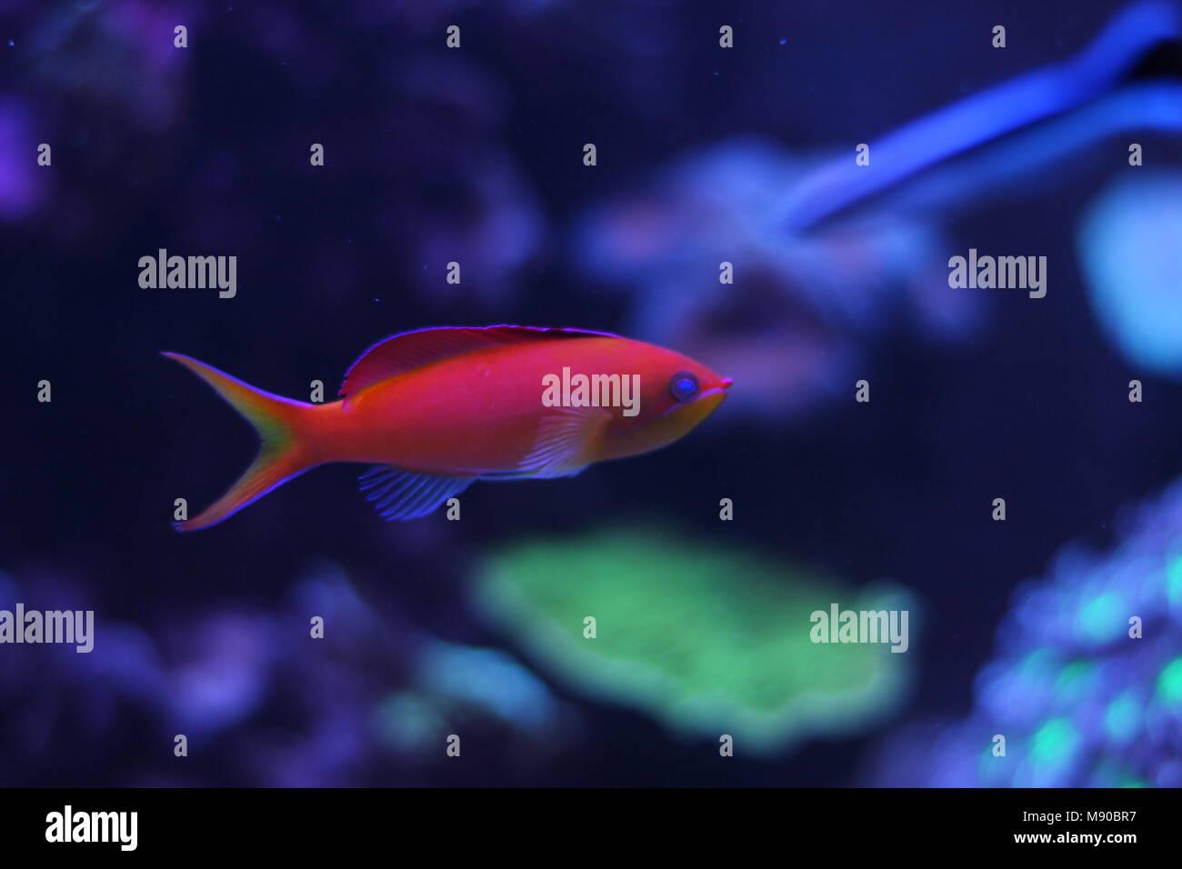 Anthias fish in reef tank - Stock Image