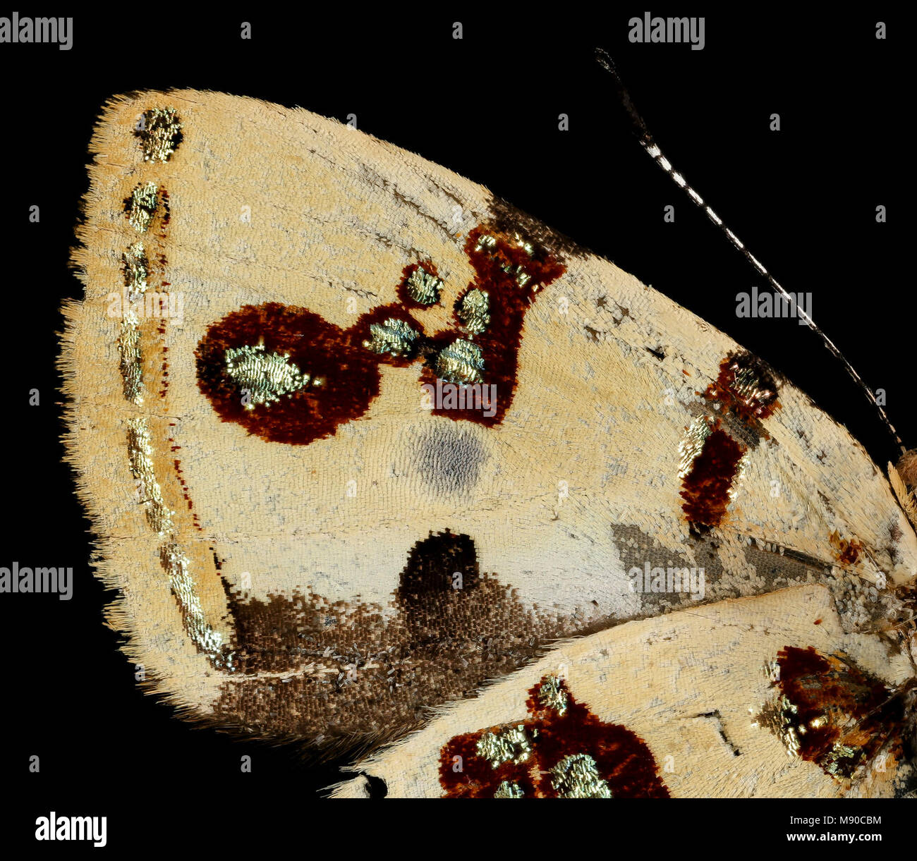 Bling Butterfly - Anteros formosus, m, peru, Cosnipata Valley, brain harris - Stock Image