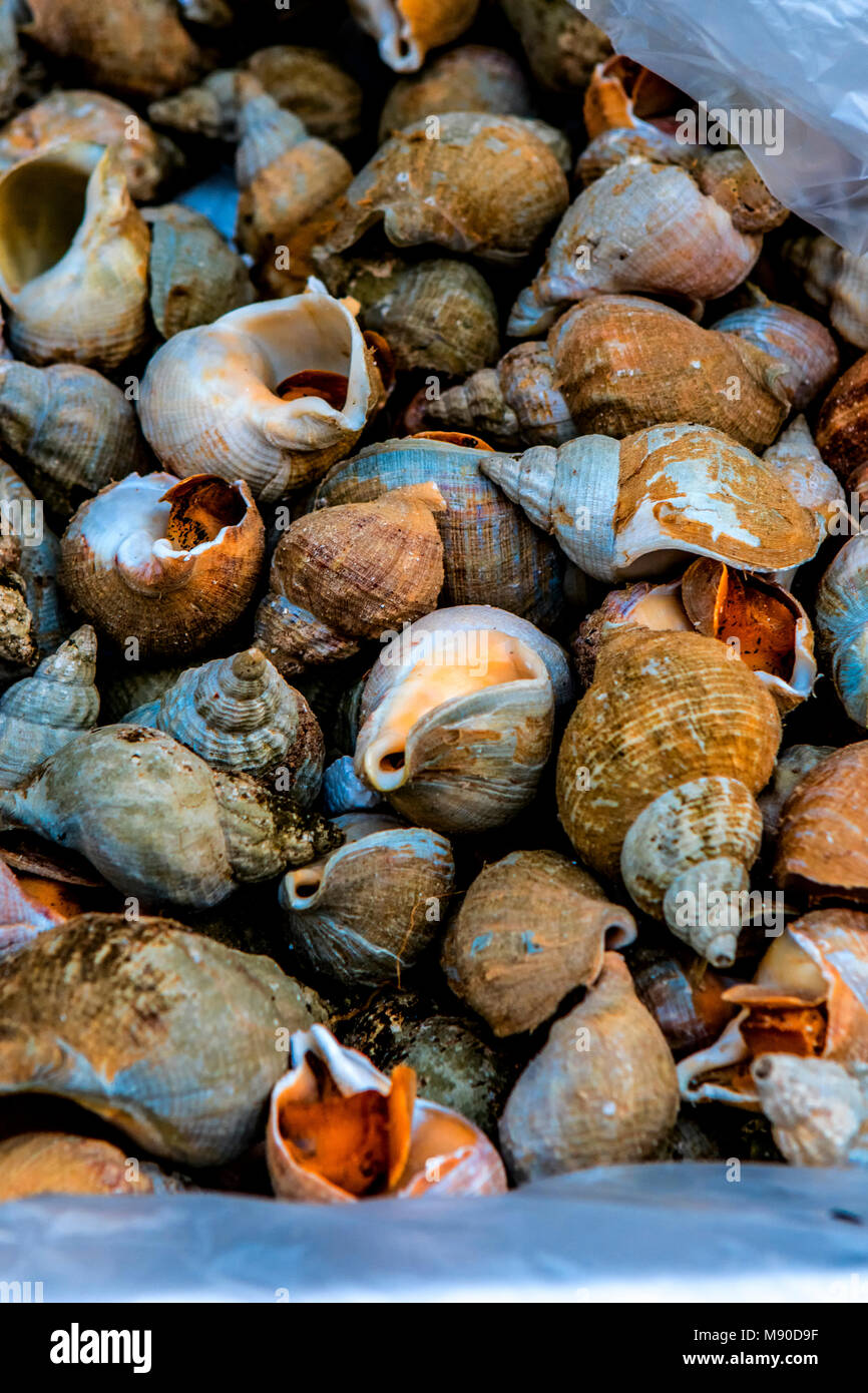 Estuarine Nucella lapillus or Dog Whelks are a healthy and sustainable edible sea snail with a spired shell here - Stock Image