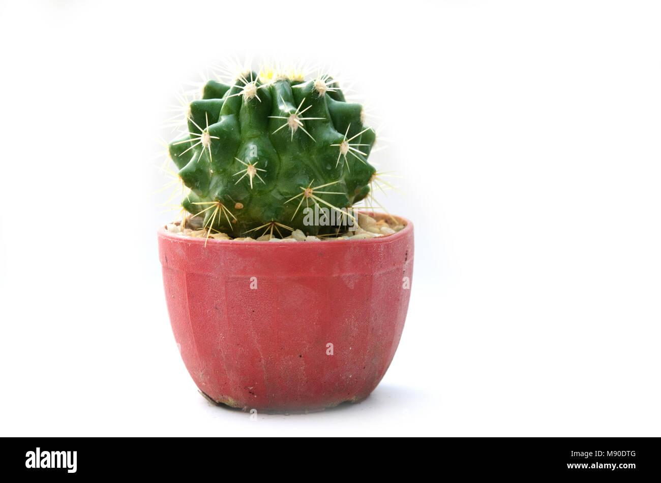 Cactus vintage on the white background. - Stock Image