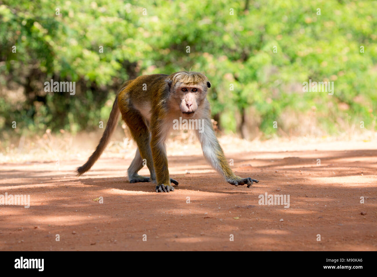 The toque macaque, Macaca sinica, is a reddish-brown-coloured Old World monkey, endemic to Sri Lanka, where it is known as the rilewa or rilawa. This  - Stock Image