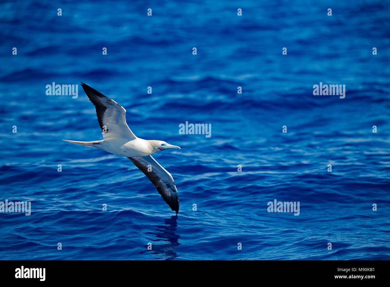 The brown booby, Sula leucogaster, is a large seabird of the booby family, Sulidae. This species breeds on islands and coasts in the pantropical areas - Stock Image