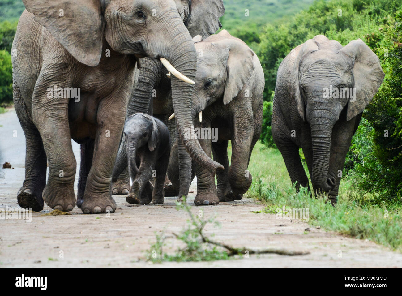 A herd of African bush elephants (Loxodonta africana) with a baby in Addo Elephant Park, South Africa - Stock Image