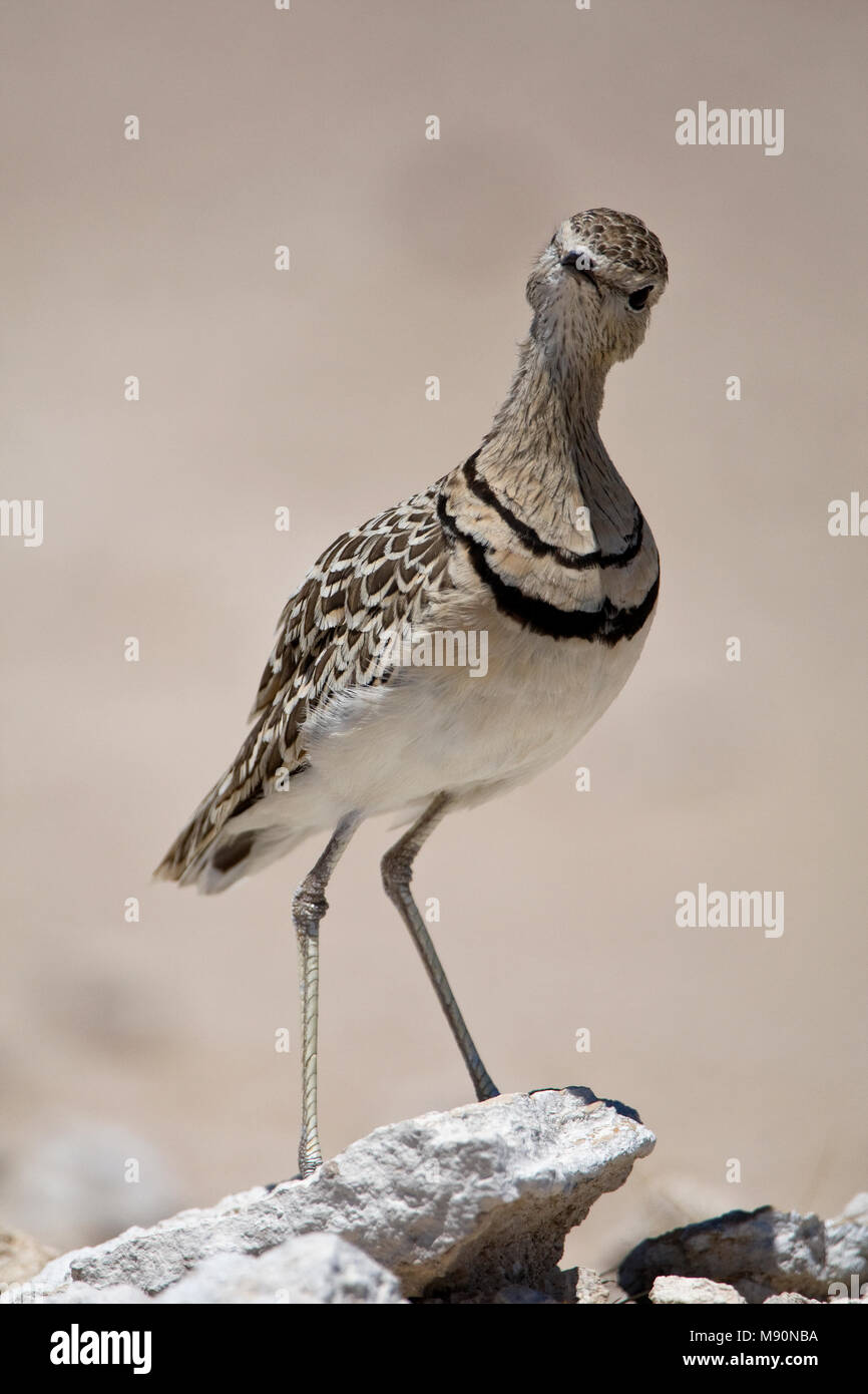 Dubbelbandrenvogel staand op steen Namibie, Double-banded Courser at stone Namibia - Stock Image