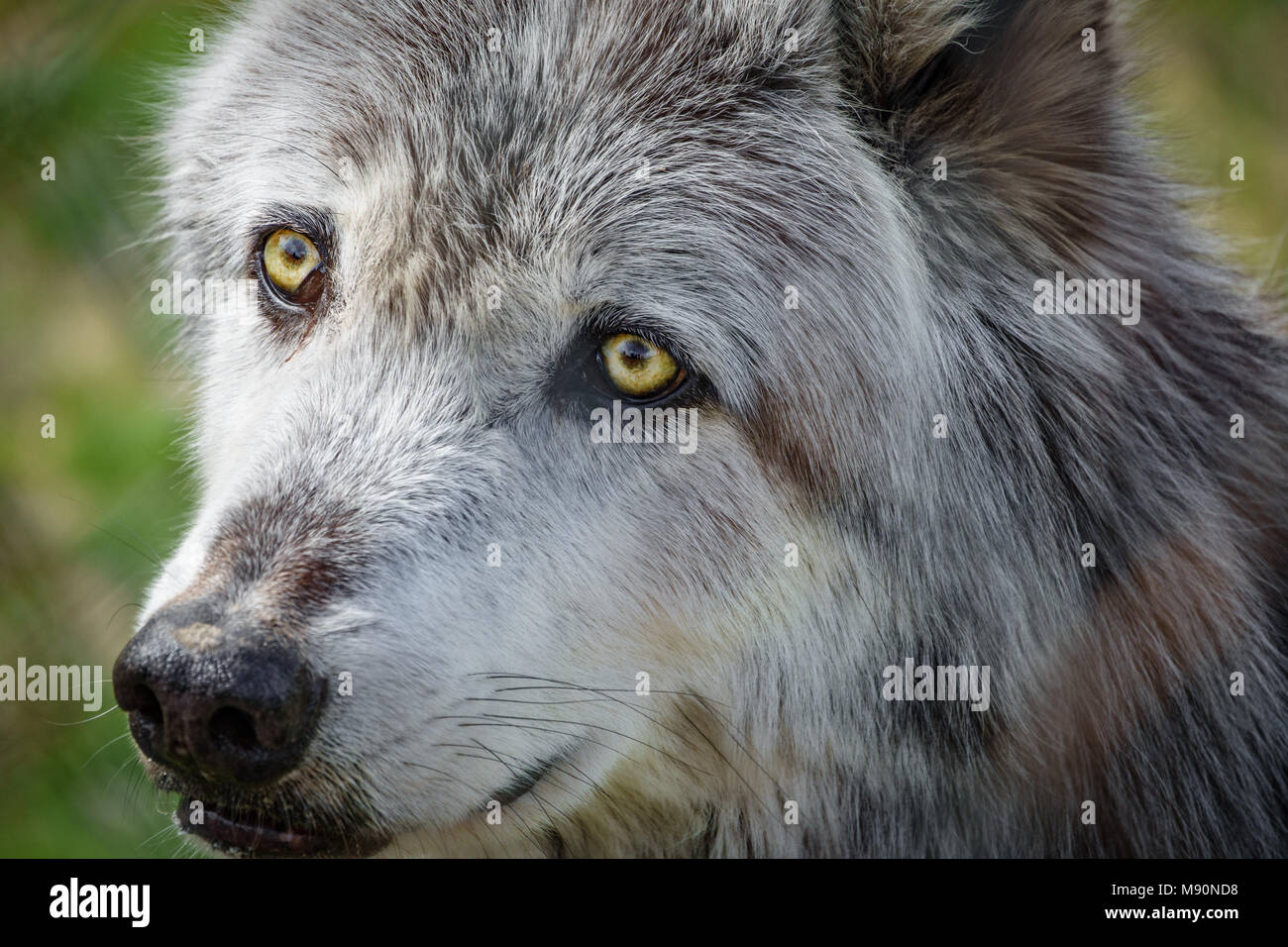 Canadian wolf head behind fence - Stock Image