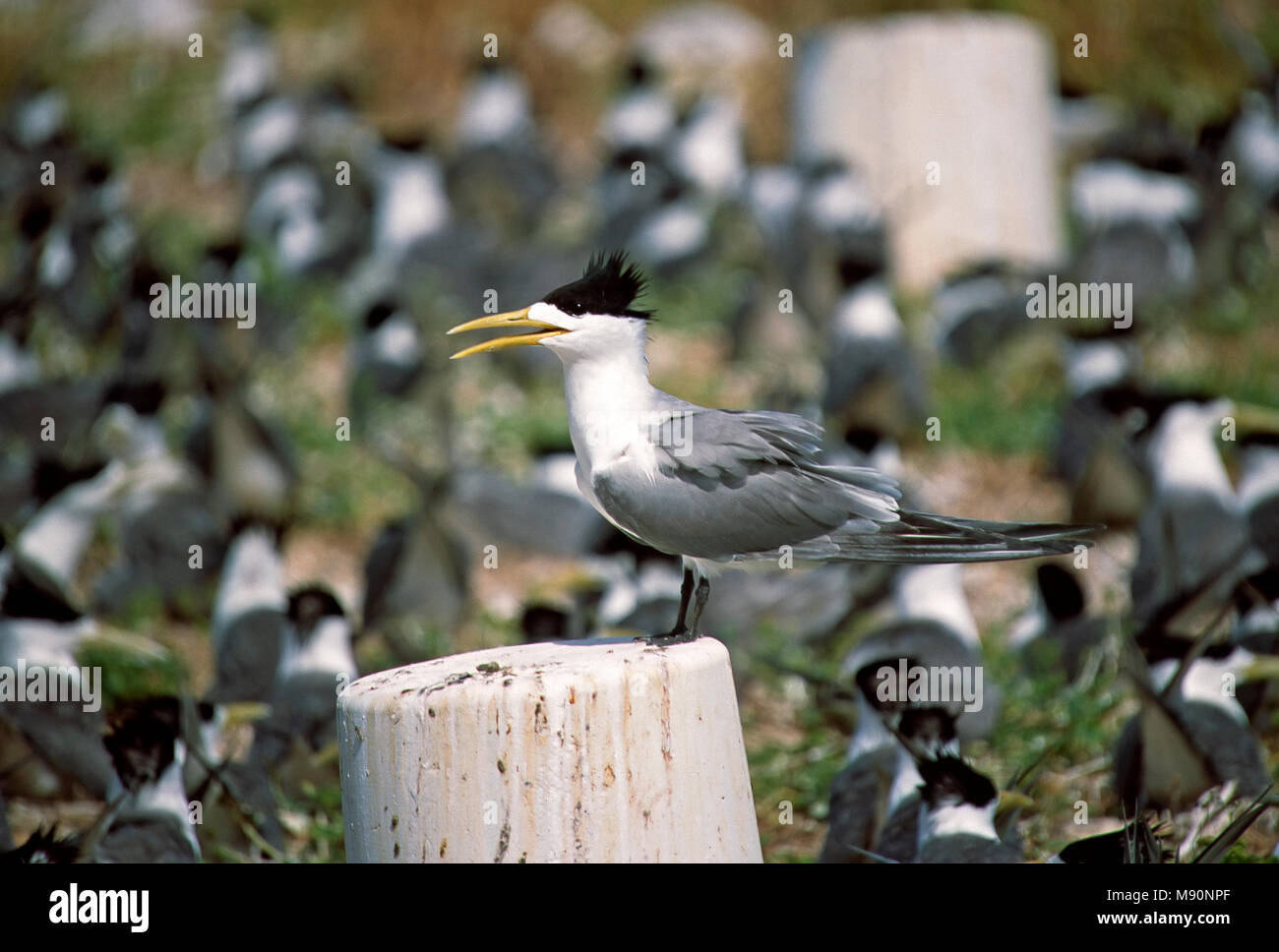 Grote Kuifstern broed kolonie Australie, Great Crested-Tern breeding colony Australia - Stock Image