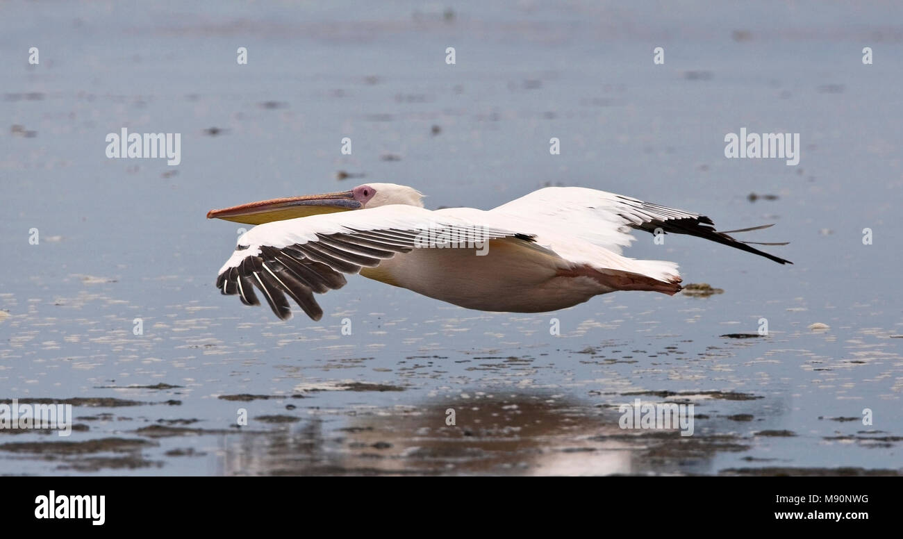 Roze Pelikaan in vlucht Namibie, Great White Pelican in flight Namibia - Stock Image
