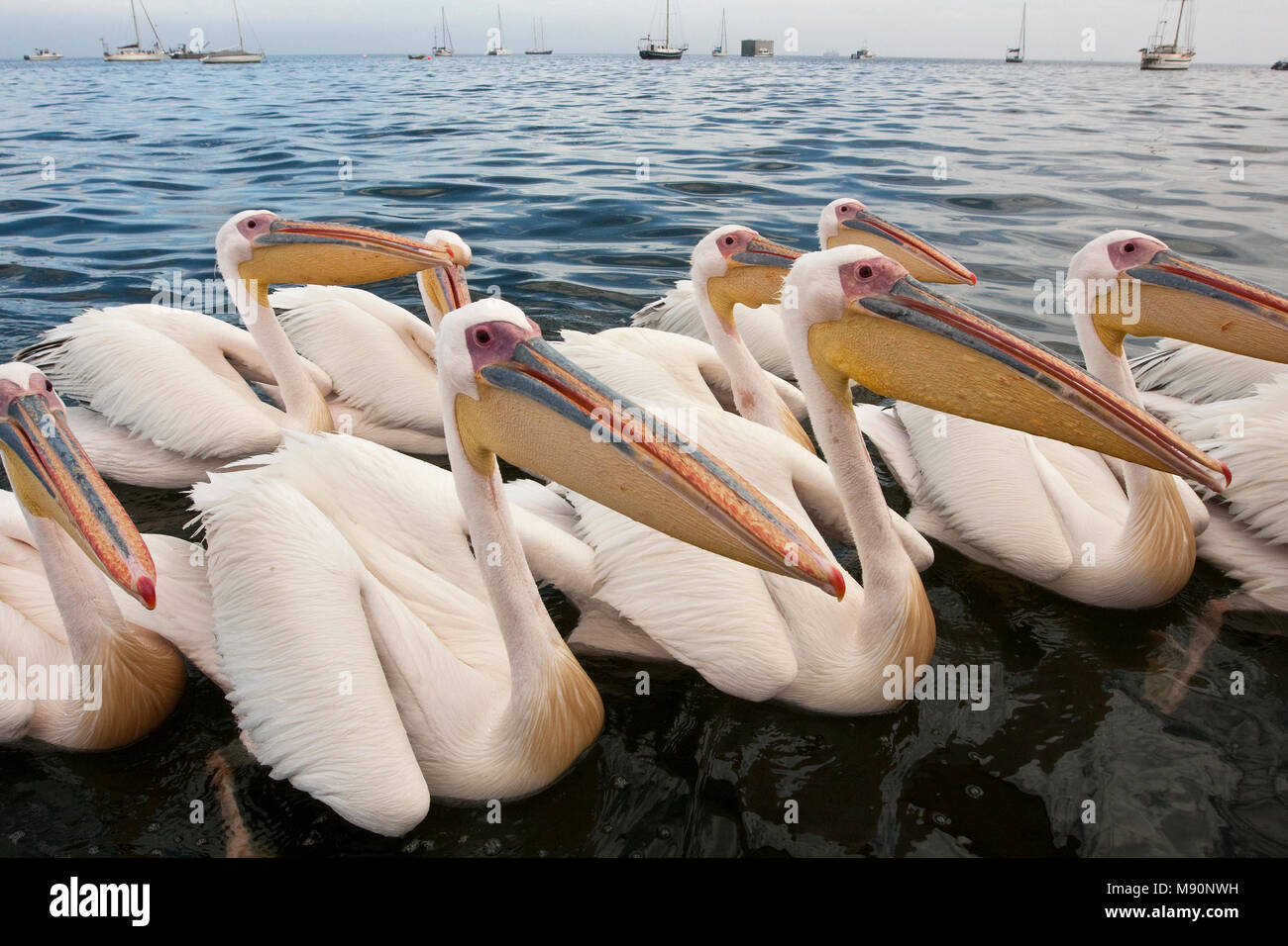 Roze Pelikaan groep zemmend Namibie, Great White Pelican group swimming Namibia - Stock Image