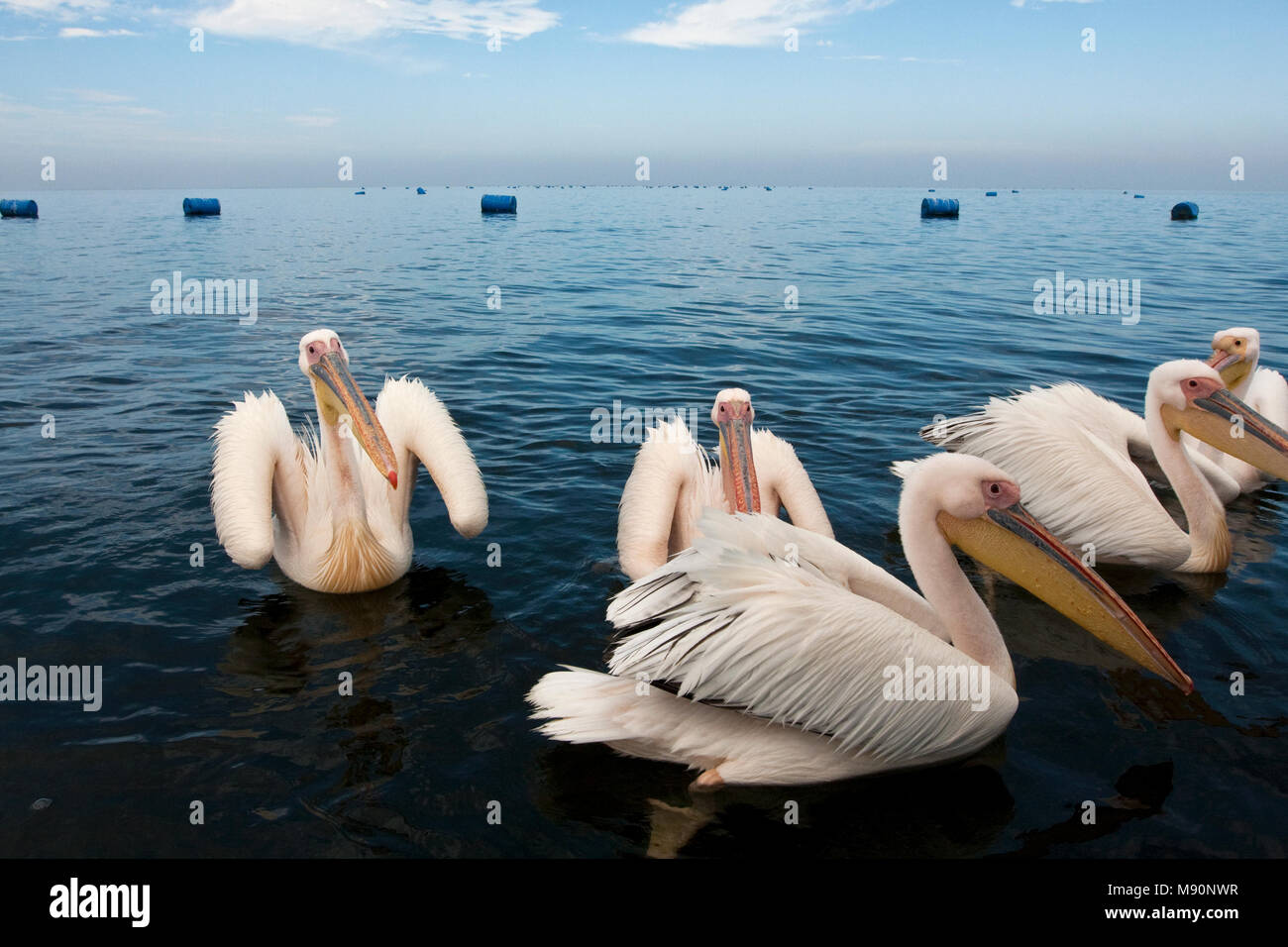 Roze Pelikaan groep zwemmend Namibie, Great White Pelican group swimming Namibia - Stock Image