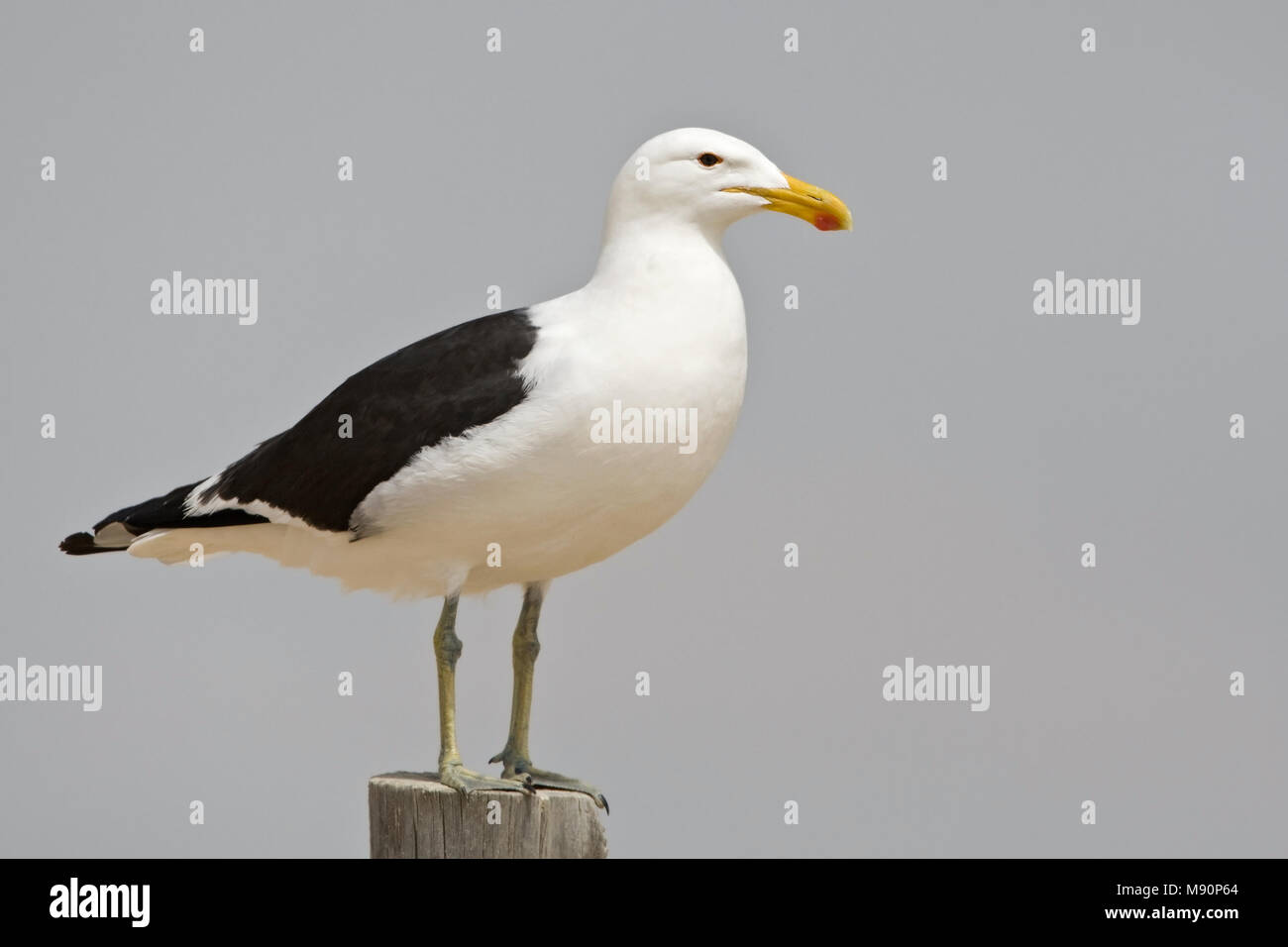 Kelpmeeuw staand op paal langs de kust Namibie, Kelp Gull perched at pole along coast Namibia - Stock Image