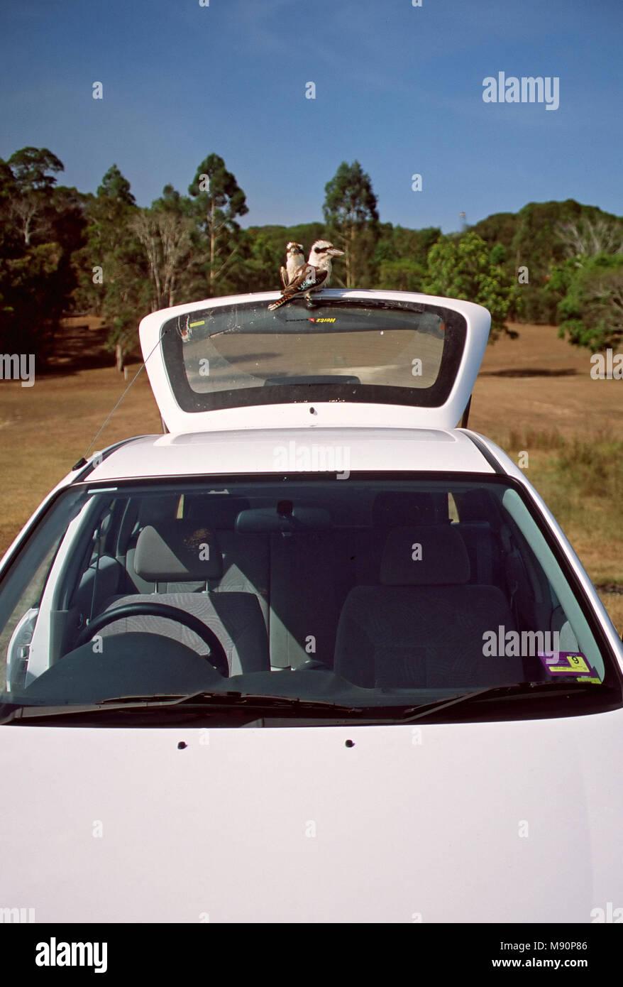 Kookaburra twee vogels zittend op auto Australie, Laughing Kookaburra two birds sitting on car Australia - Stock Image