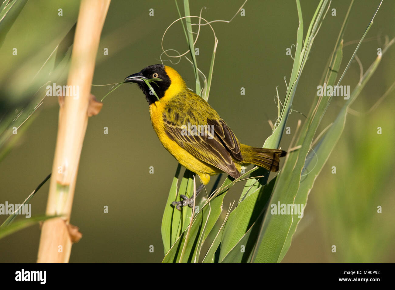 Mannetje Kleine Textorwever met nest materiaal Namibie, Male Lesser Masked-Weaver with nest material Namibia - Stock Image